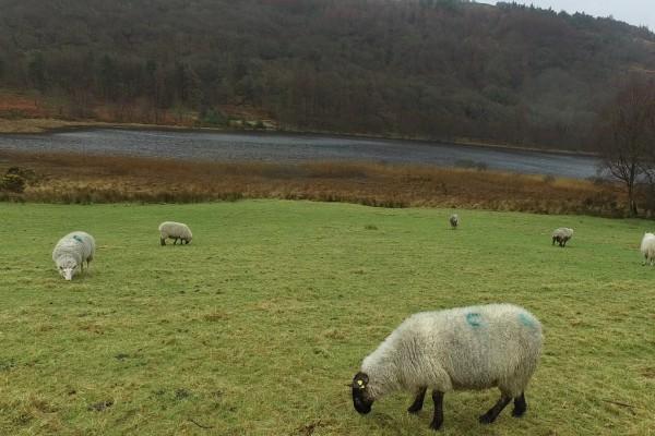 glendalough lago ovejas irlanda