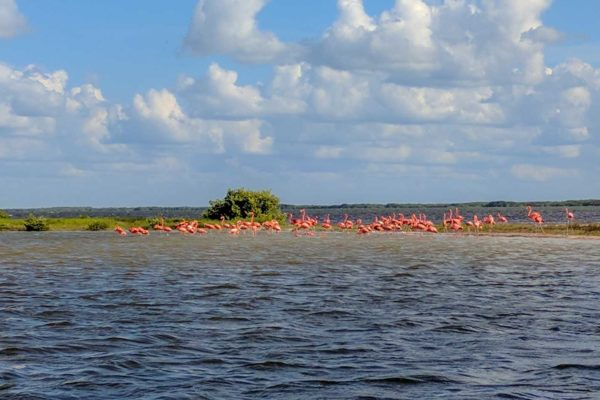 temporada de flamingos en las coloradas flamengos en rio lagartos mexico